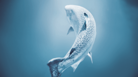 picture of Ora King Salmon swimming