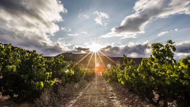 picture of vineyard